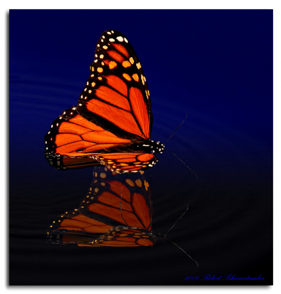 Butterfly Reflection